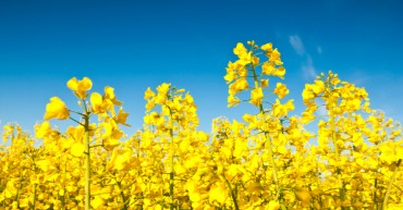 markets_grains-oilseeds_canola_851x564