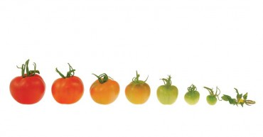 Tomato Growth Evolution